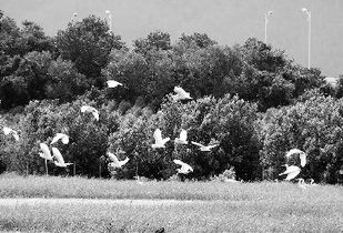 ..., 收获稻谷的农民、悠闲觅食的鹭鸟;绿色的草丛、放牧的牛群、...