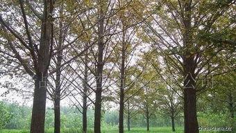 老战友银杏苗木有限公司 -银杏树 盆景 叶果 花