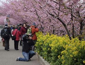 ...浦,早春樱花和黄色的油菜交相辉映.(图片来源:《今日日本》网...