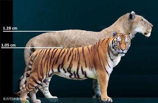 史上最大的猫科动物,名字也很残暴霸气