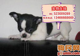 100元的吉娃娃狗-最小的狗 吉娃娃多少钱 江苏南通狗市