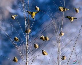 枝头挂满黄金鸟 金翅雀