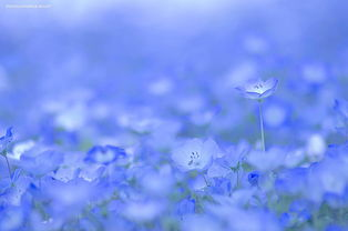 这片童话般的蓝色花海并不是虚拟作品,它真实地存在于日本日立海滨...