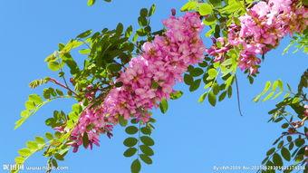 紫色槐树花图片