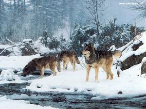 wolf狼-pus英文名:Wolf, Gray wolf或称为灰狼,哺乳纲,犬科,家犬的祖先,...