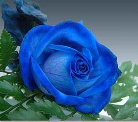 凋零的玫瑰 玫瑰凋零图片 黑色凋零玫瑰壁纸 黑白凋零玫瑰 我的世界凋...
