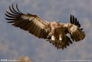 如何让用Flash制作简单动画——飞翔的老鹰