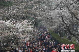 ...动发布大数据 武大樱花节期间18万人入校赏樱