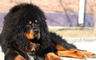 ...盘点世界上十大最贵的狗排名