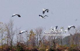 候鸟飞到鄱阳湖越冬 记者 -候鸟来越冬,江西咋 筑巢