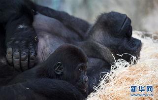 博狗bf88-这是4月14日在法国圣艾尼昂博瓦尔动物园里拍摄的一只母猩猩与它的...