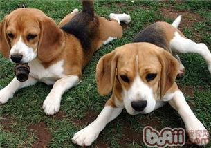 ...犬价格 比格犬多少钱一只 比格犬好养吗 波奇宠物品种大全