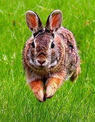 最特别的兔子 琉球兔数量稀少成活化石
