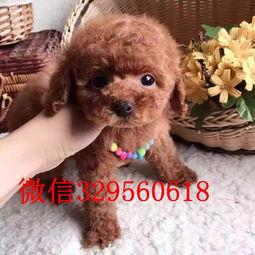 青岛哪里有卖贵宾犬 纯种贵宾多少钱 标准贵宾幼犬出售