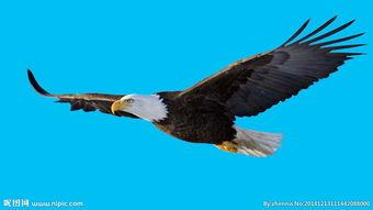 飞翔的雄鹰图片