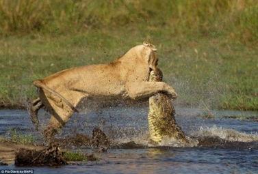 为护幼狮过河 母狮迎战鳄鱼获全胜