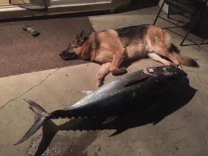 博狗bf88-据美国《世界日报》报道,蓝鳍金枪鱼(Bluefin)一路追小红虾,追到...