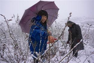 9日上午,虽然天空中飘着纷纷扬扬的大雪,但是在大田乡徐村蓝莓基...