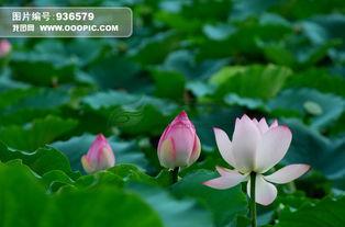 美丽的荷花图片素材 图片编号 936579 植物图片库 动物植物图库 -美丽...