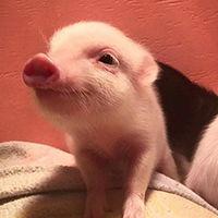 ...火的小粉猪情侣头像大全 适合情侣超萌有爱的小粉猪头像
