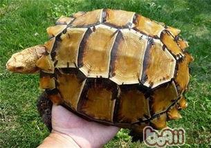 几种不适宜新手的龟