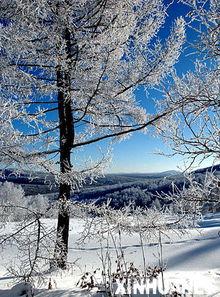 ...松树和桦树掩映在蓝天下(1月19日摄).新华社记者 -银装素裹 冬季...