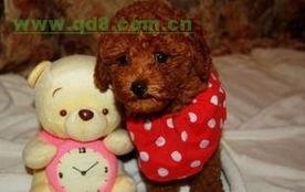 杭州哪里有卖泰迪熊,杭州泰迪熊多少钱,泰迪熊价位