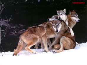 同样,狼之所以   能成功猎杀比自己更大、更凶的动物,秘诀之定是它...