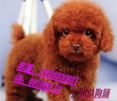广州哪里有卖贵宾犬 广州贵宾犬多少钱一只