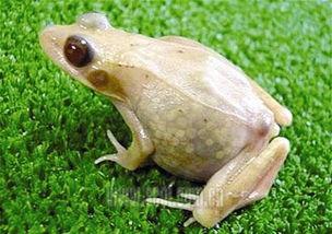 ...这种青蛙全身 透明