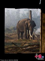 ...拉雅山下的象群乐园 尼泊尔奇旺大象抚育中心