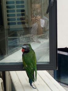 绿色白头鹦鹉是什么品种
