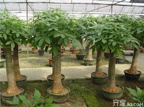 发财树叶子有黄斑 发财树遇到虫害如何处理