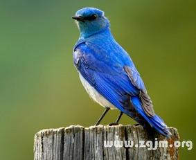 梦见蓝色鸟