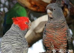 钢钢凤头鹦鹉价格 钢钢凤头鹦鹉饲养方法 钢钢凤头鹦鹉产地 家居百科