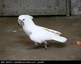 白头凤鹦鹉在觅食高清图片下载 编号6829137 红动网