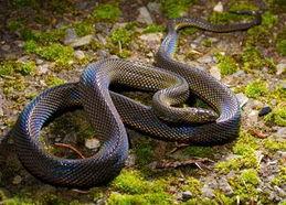 ...nus ,它是闪皮蛇亚科脊蛇属里的一个种类