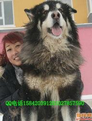 哈士奇犬照片 西伯利亚雪橇犬照片 未命名4 1 alaala