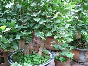 银杏树苗价格 银杏盆景
