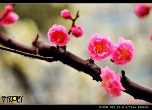 ...是一年桃花红,人去花仍在 冷艳的桃花