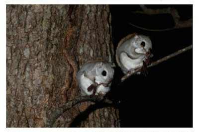 ...中滑行.夜行性动物特有的大眼睛,外型非常可爱.主要在夜间活动...