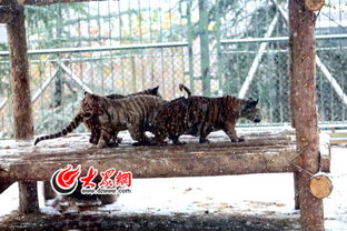 快看,非洲来的猫鼬在济南冻成了 傻狍子