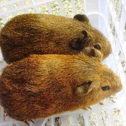 荷兰猪 天竺鼠 豚猪