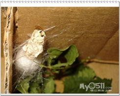 大周的养蚕日记 破茧成蝶 后继有籽