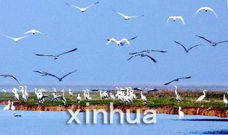 候鸟栖息在鄱阳湖保护区的沙湖.-50余万只候鸟鄱阳湖越冬
