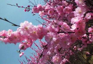 描写桃花的古诗
