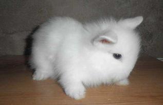 猫猫兔多少钱一只