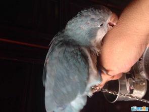 出售一只手养蓝和尚鹦鹉