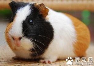 天竺鼠吃什么 荷兰猪宝宝的喂养