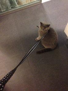 给Leo买了条猫绳子,发现溜不动 猫奴主人好尴尬